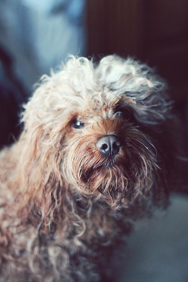 Penny the Cockapoo with Long Hair